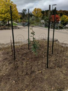 vimy-ridge-oak-sapling-oct-2018-3